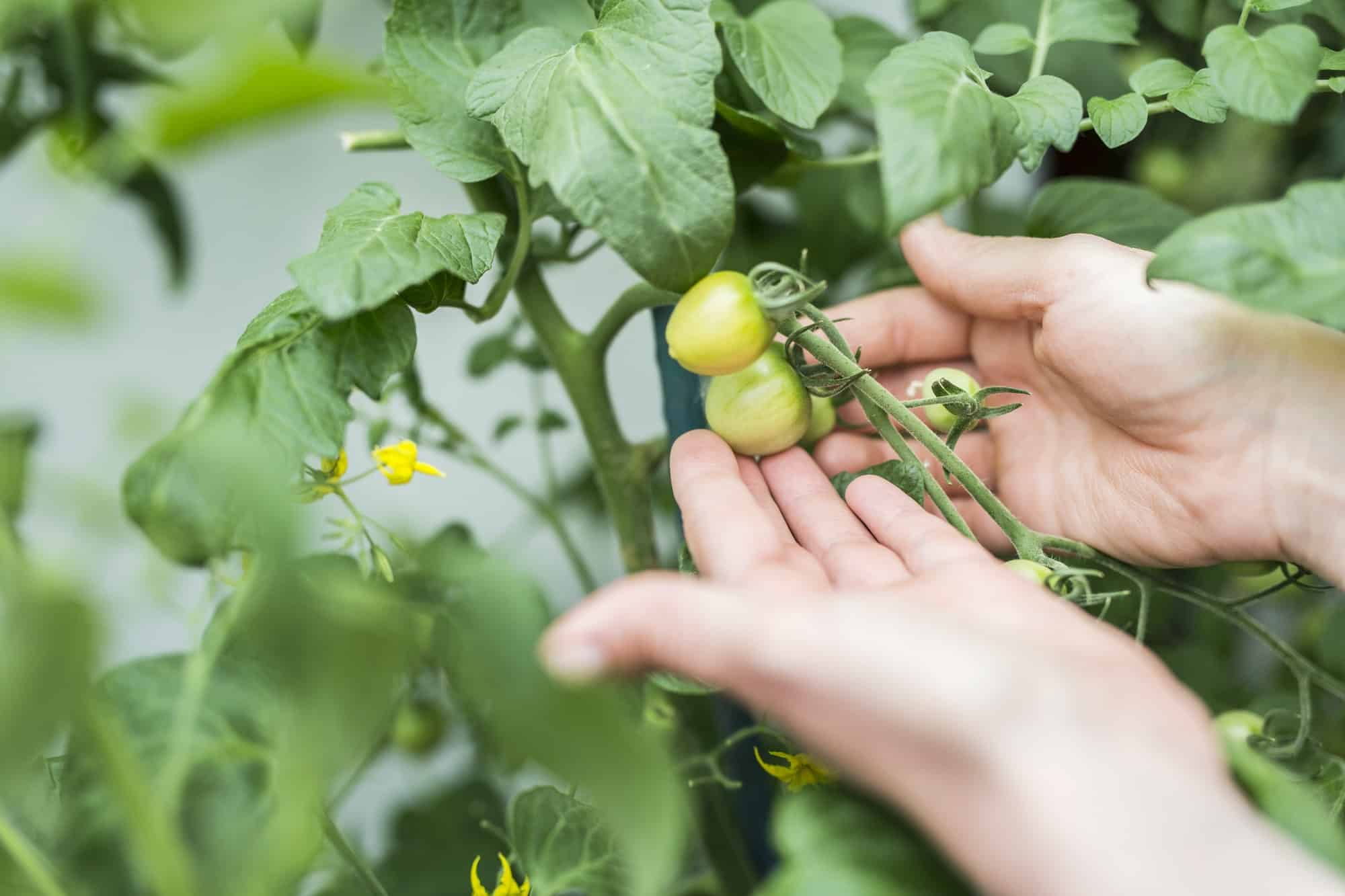 How long does it take for a tomato seed to produce tomatoes?