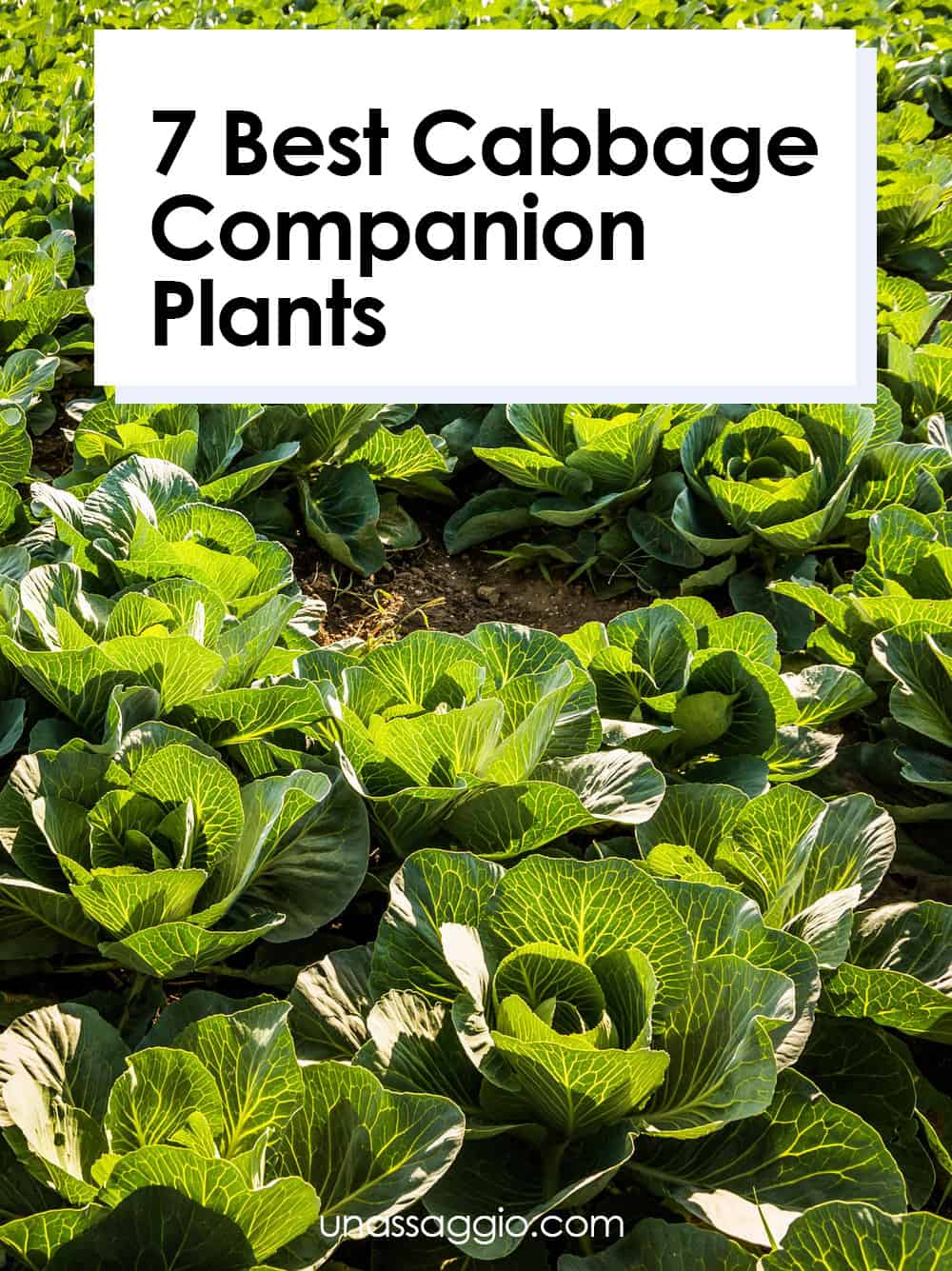 Cabbage Companion Plants: 7 Plants to Grow With Cabbage