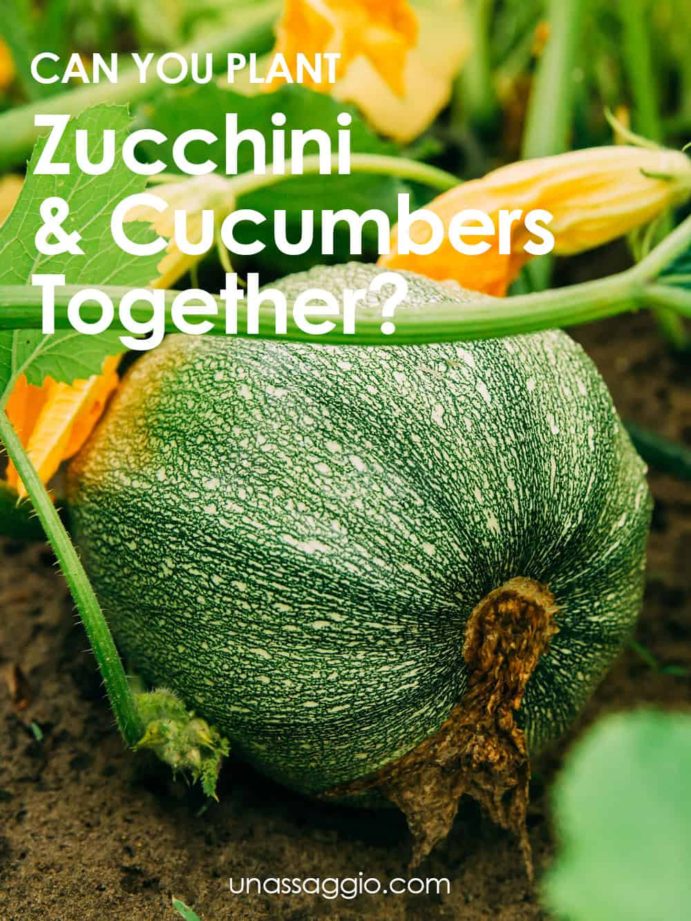 Can You Plant Zucchini And Cucumbers Together?