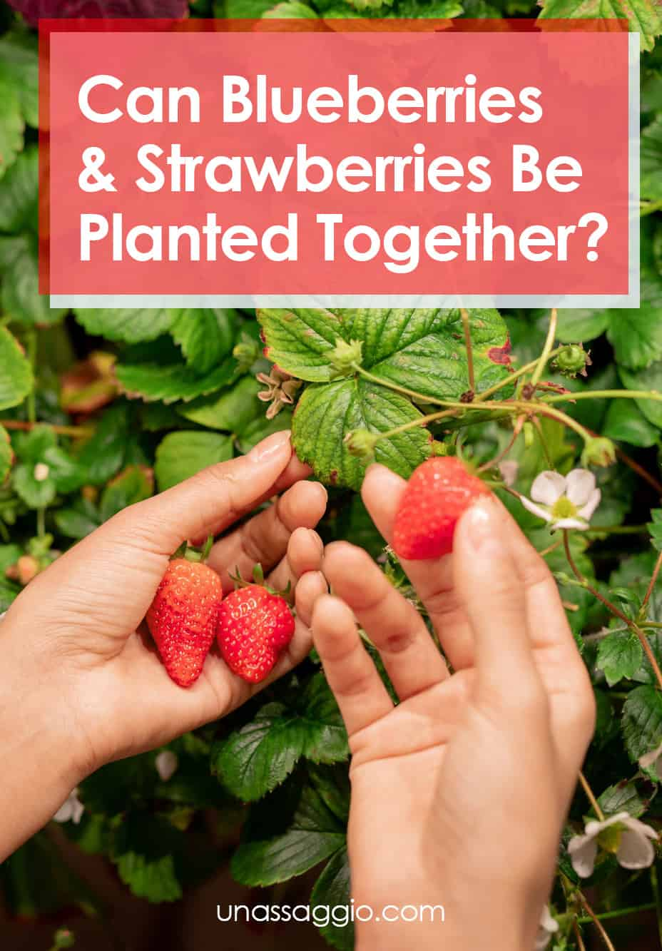 Can blueberries and strawberries be planted together?