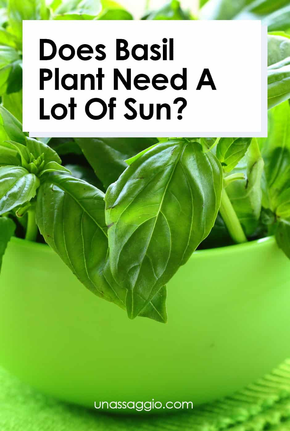 Does Basil Plant Need A Lot Of Sun?