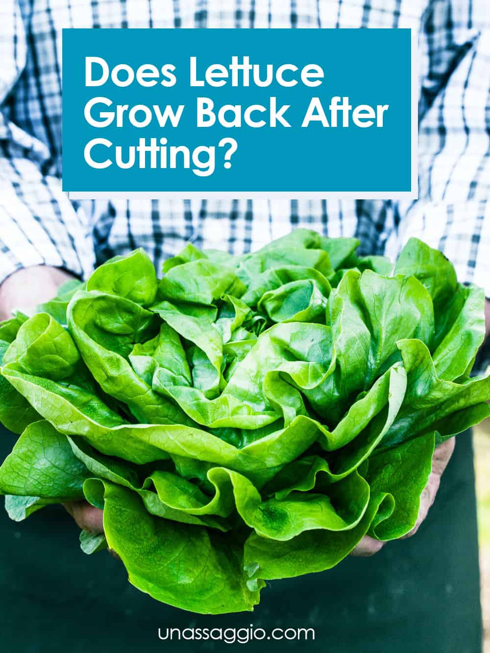 Does Lettuce Grow Back After Cutting?