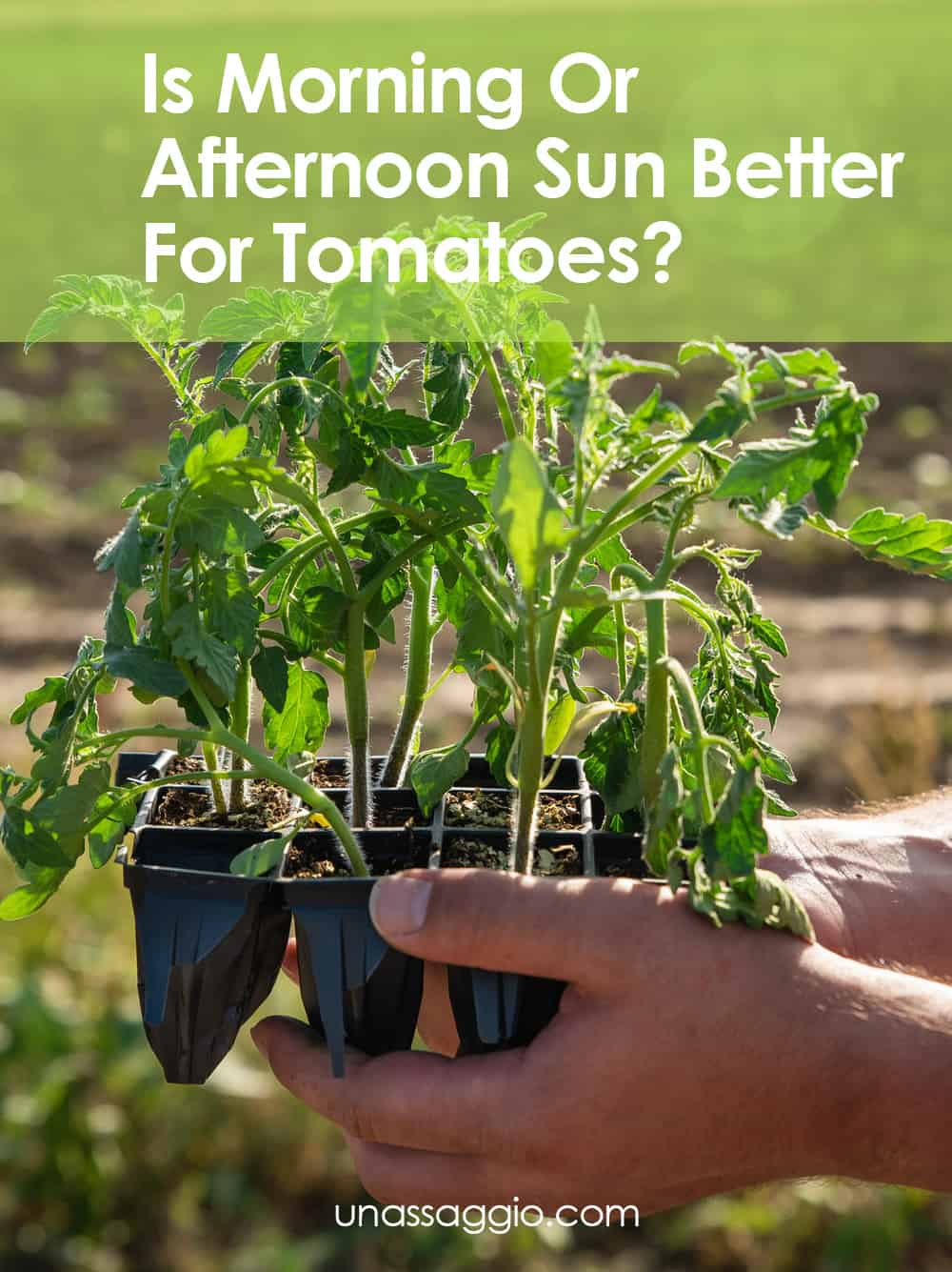 Is Morning Or Afternoon Sun Better For Tomatoes?