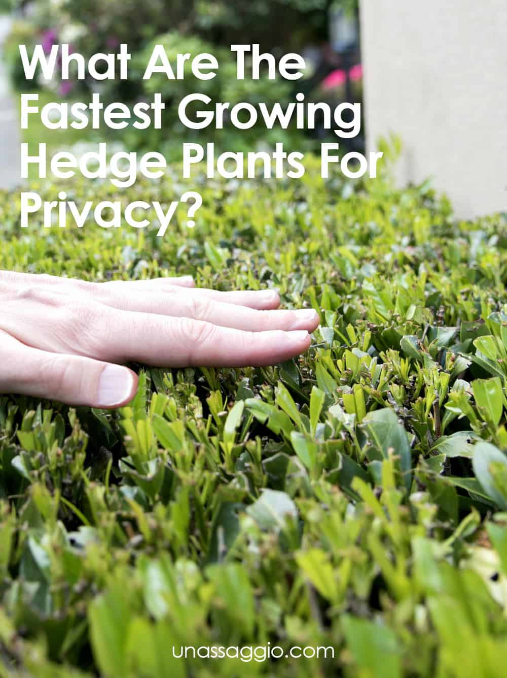 What Are The Fastest Growing Hedge Plants For Privacy Un Assaggio