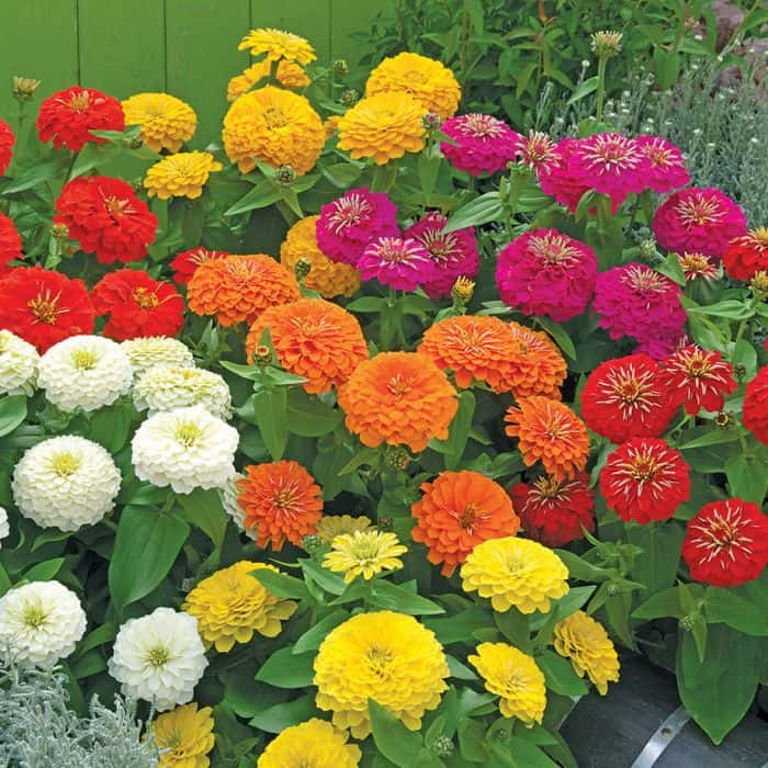 Zinnias summer blooming flowers