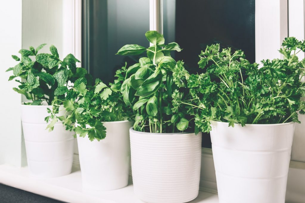 Basil. mint, parsley, coriander - 10 Best Insects And Bug Repellant Plants For Your Garden