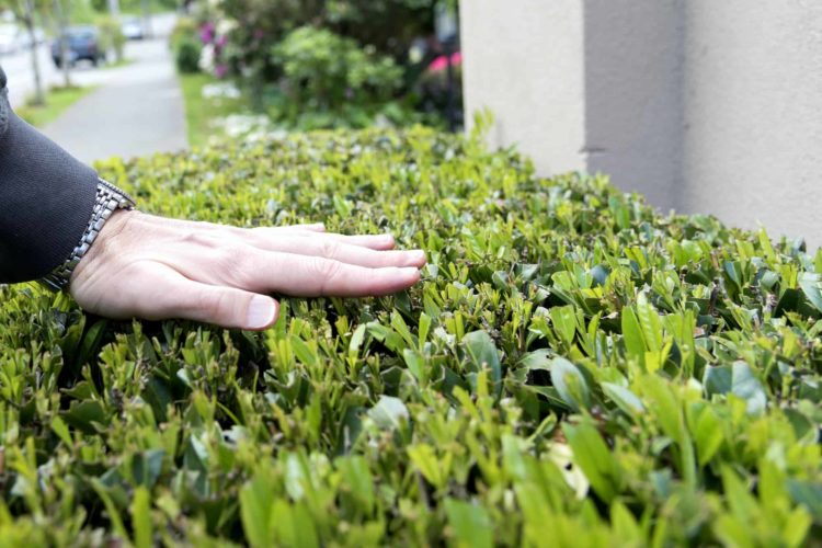 What Are The Fastest Growing Hedge Plants For Privacy?