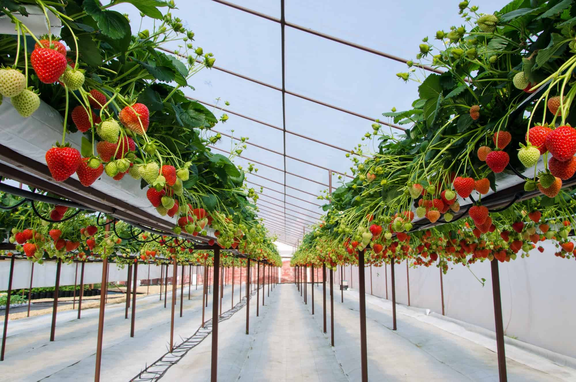 Can Peppers And Strawberries Be Planted Together?