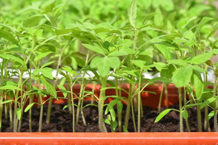 How Often Should Tomato Plants Be Watered?