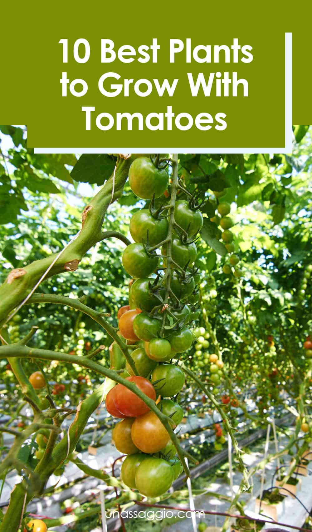 Tomato Companion Plants: 10 Best Plants to Grow With Tomatoes