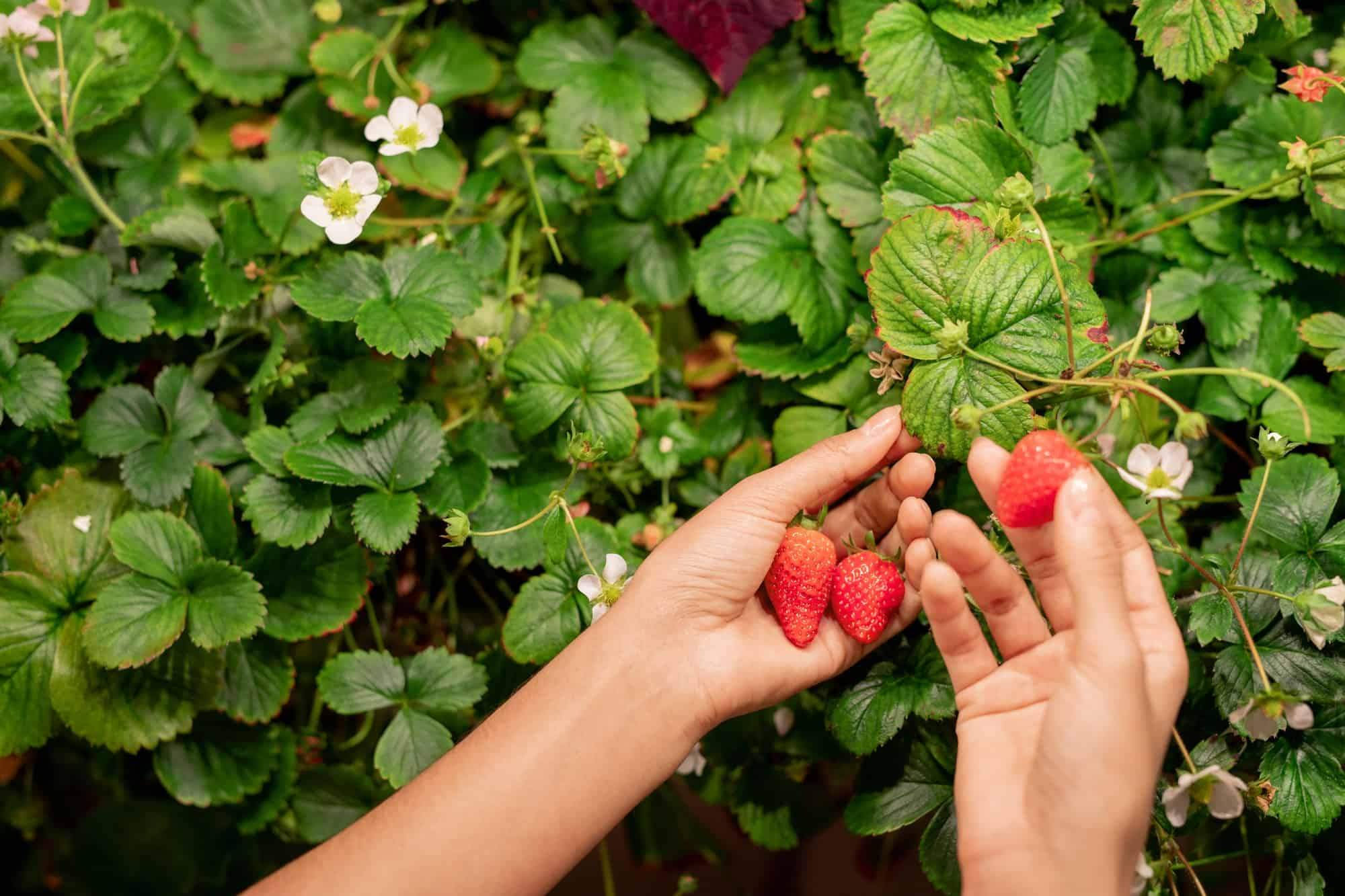 Best Plants to Grow With Strawberries