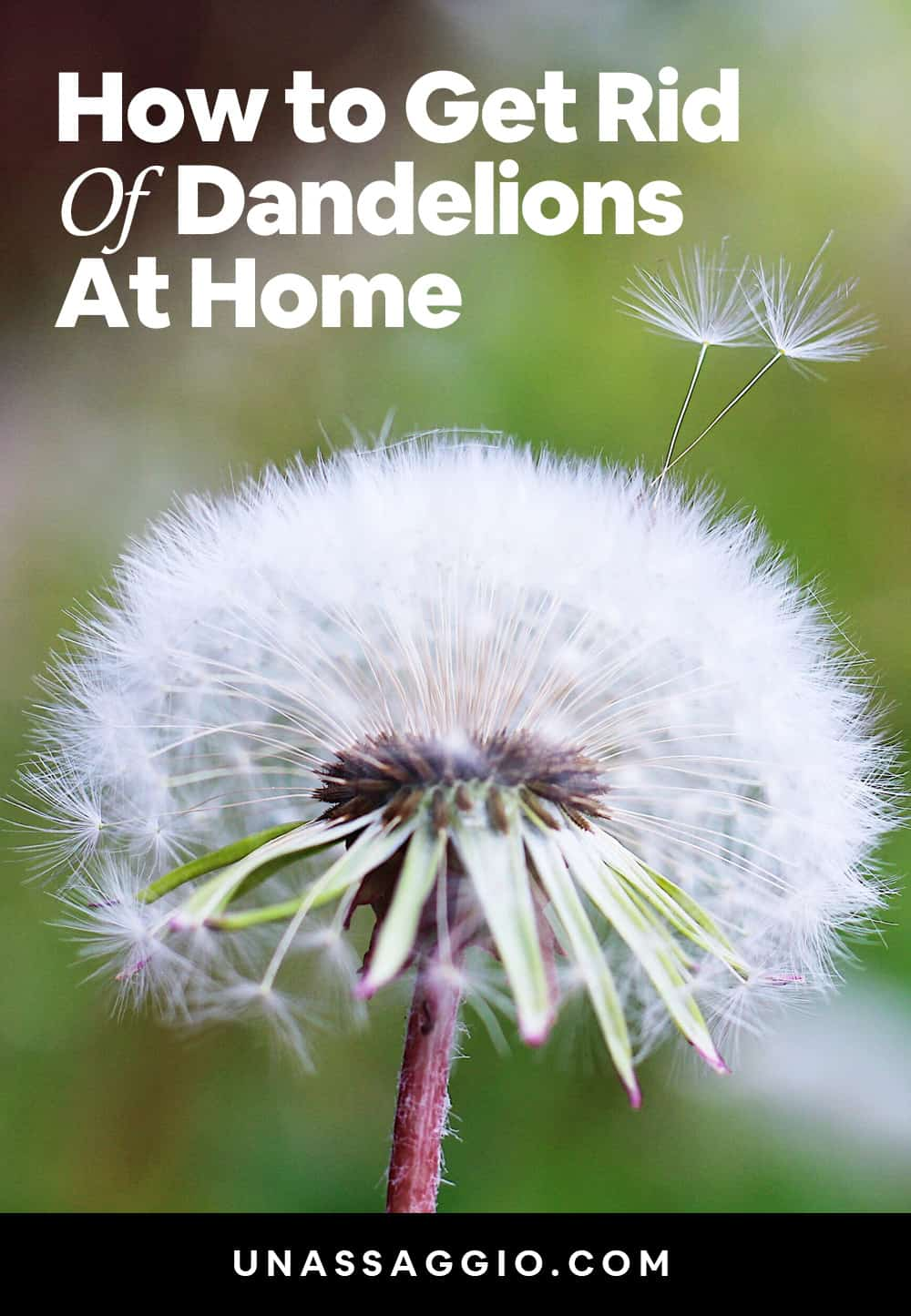 How to get rid of Dandelions at home