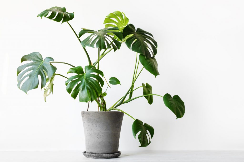 Monstera deliciosa or Swiss cheese plant care guide