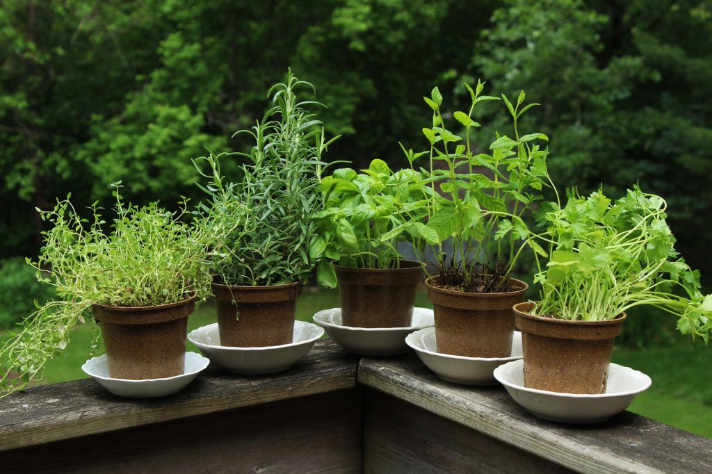 Herbs That Can Be Grown In Small Pots