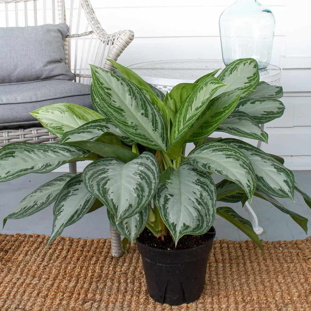 Chinese evergreen plant care