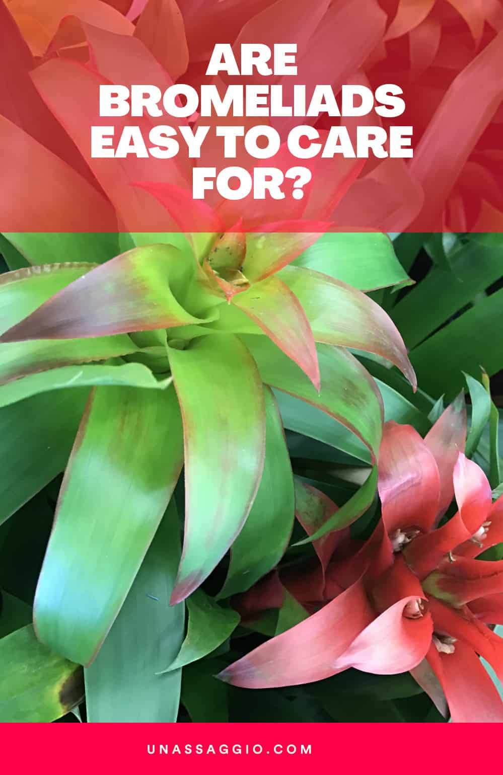 Are Bromeliads Easy to Care For?