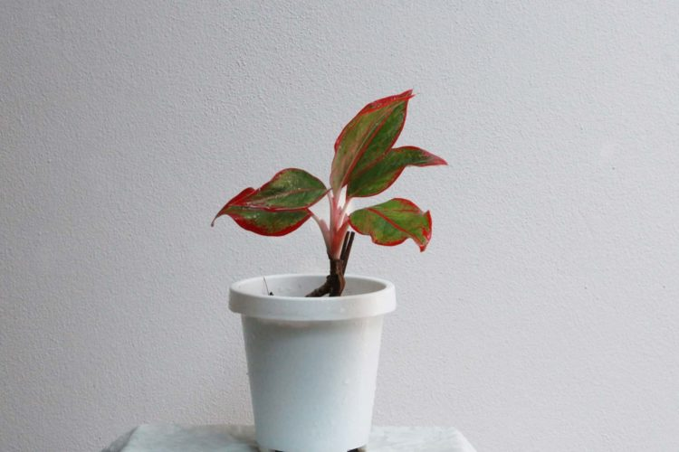 Chinese Evergreeen Plant Care