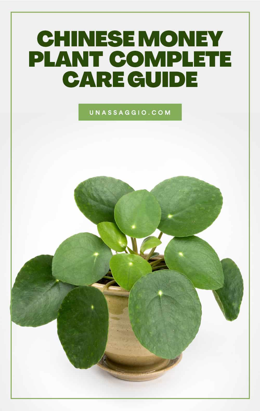 chinese money plant care