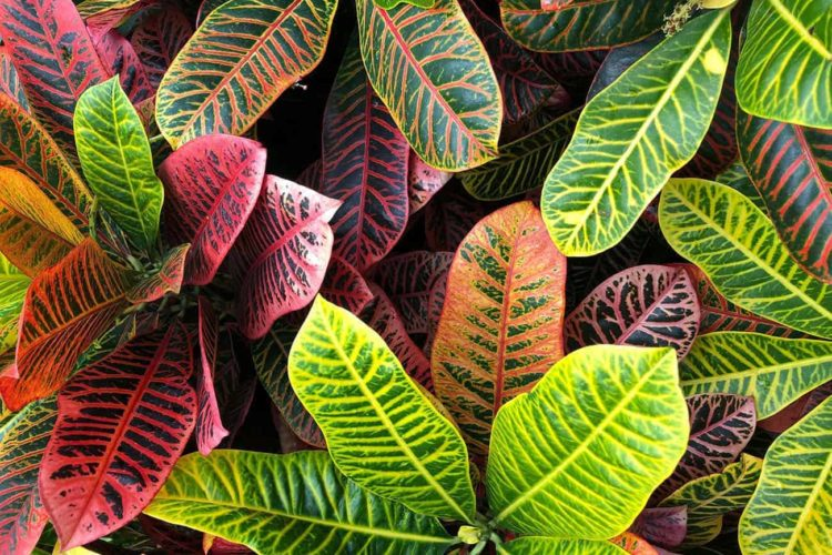 How to Keep Croton Plants From Getting Leggy