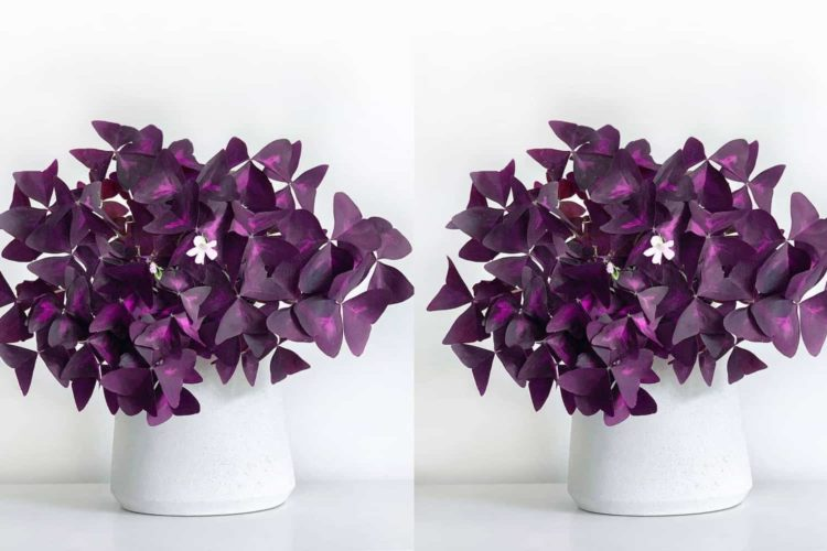 oxalis plant care guide