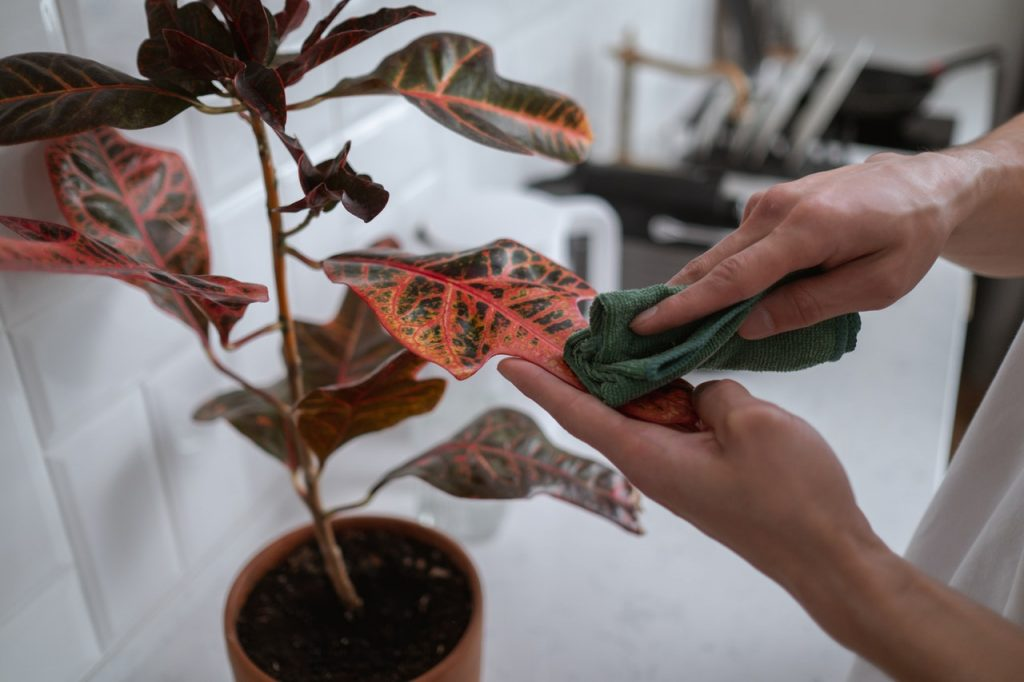 Croton Leaves Falling Off? Here's why (And What to Do)