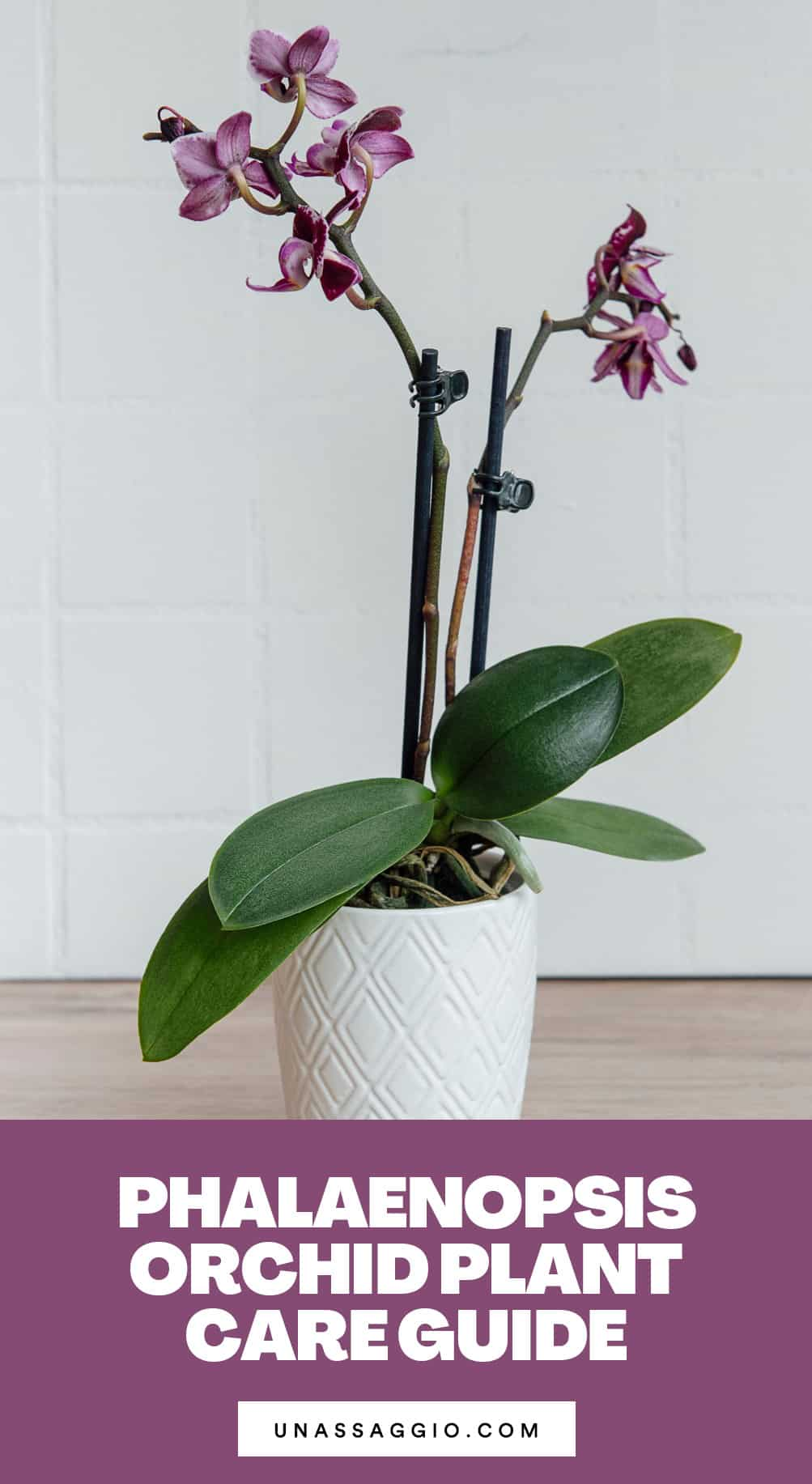 Phalaenopsis Orchid Plant Care Guide