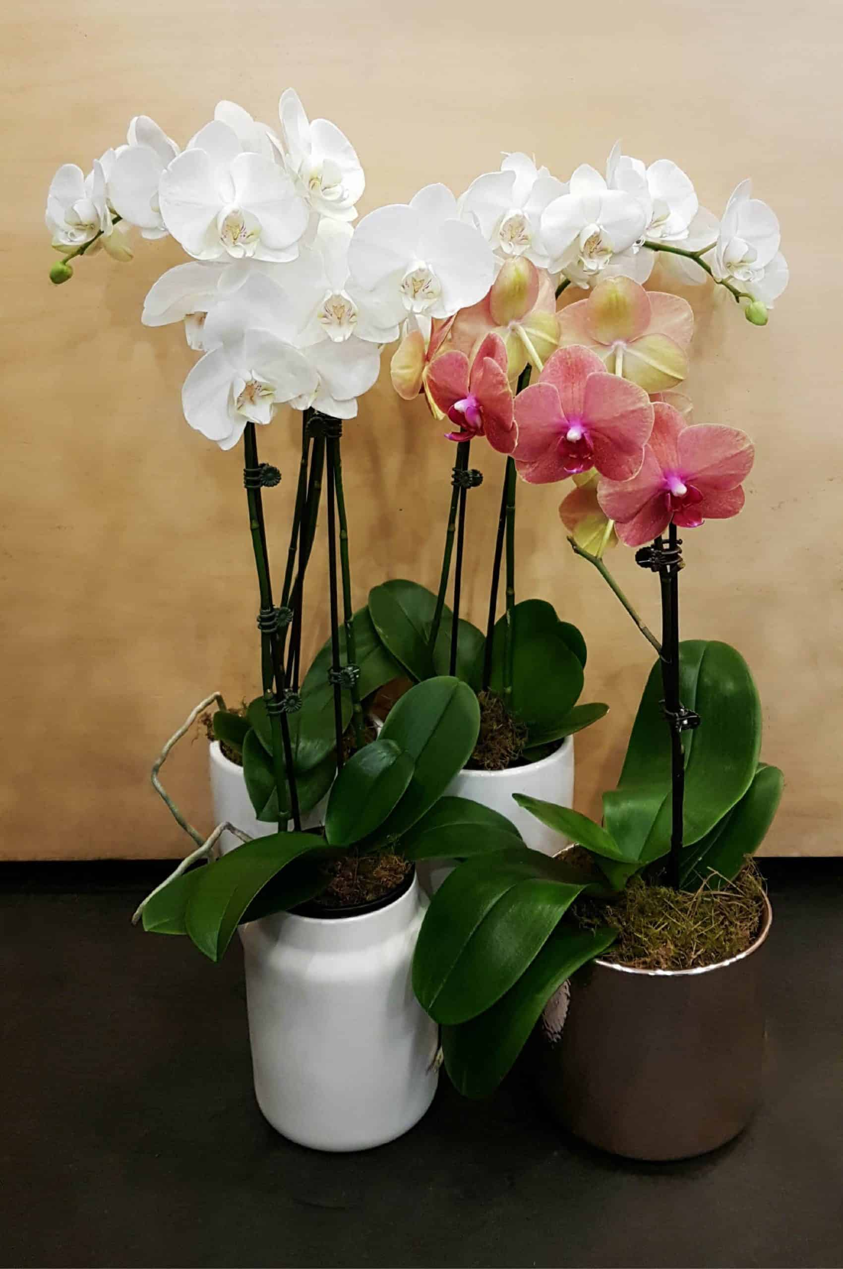Phalaenopsis Orchid Propagation Requirements