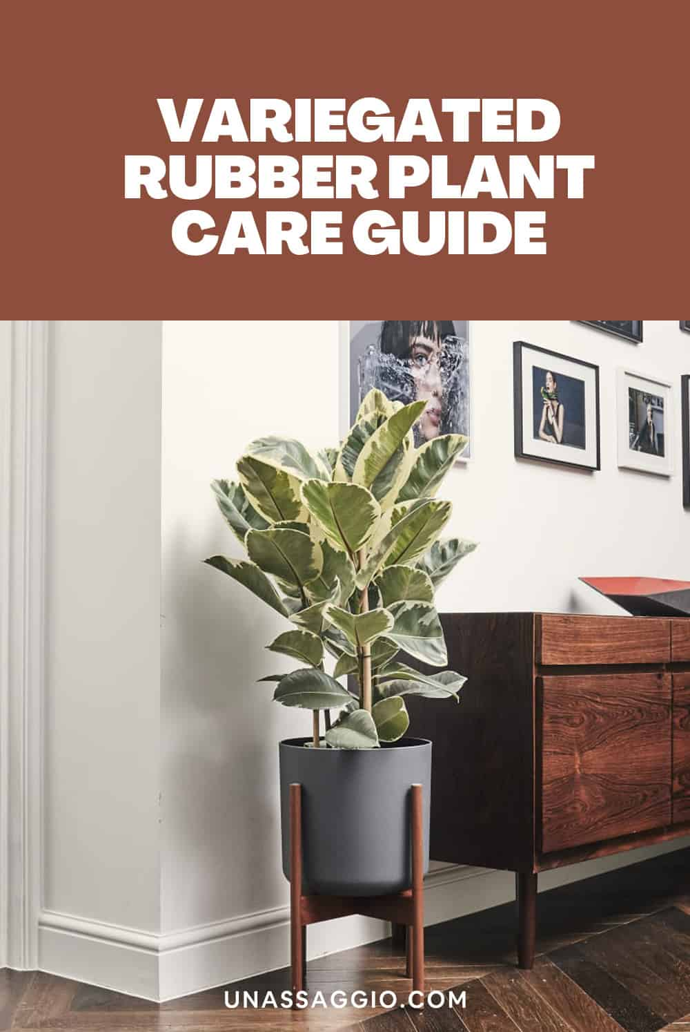 variegated rubber plant CARE GUIDE
