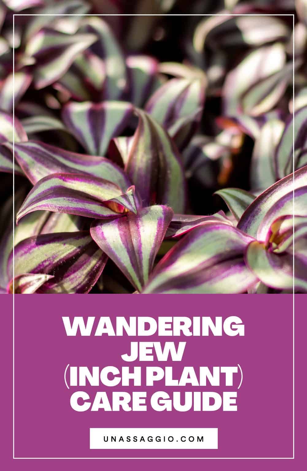 Wandering Jew (Inch Plant) Care Guide
