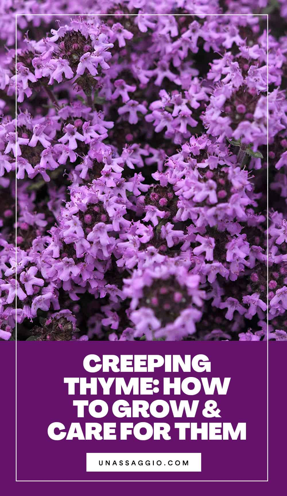 How To Care For Your Creeping Thyme Plant