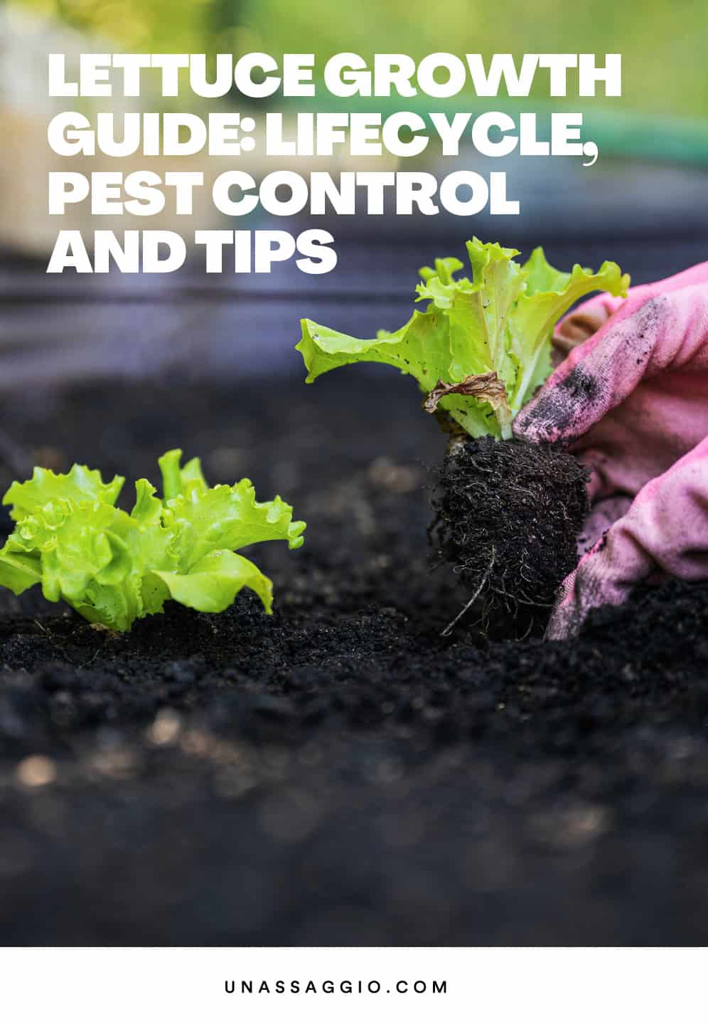 Lettuce Growth Guide: How Long It Takes, Pest Control And Tips
