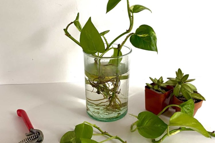 Easily Propagate Philodendron In Water