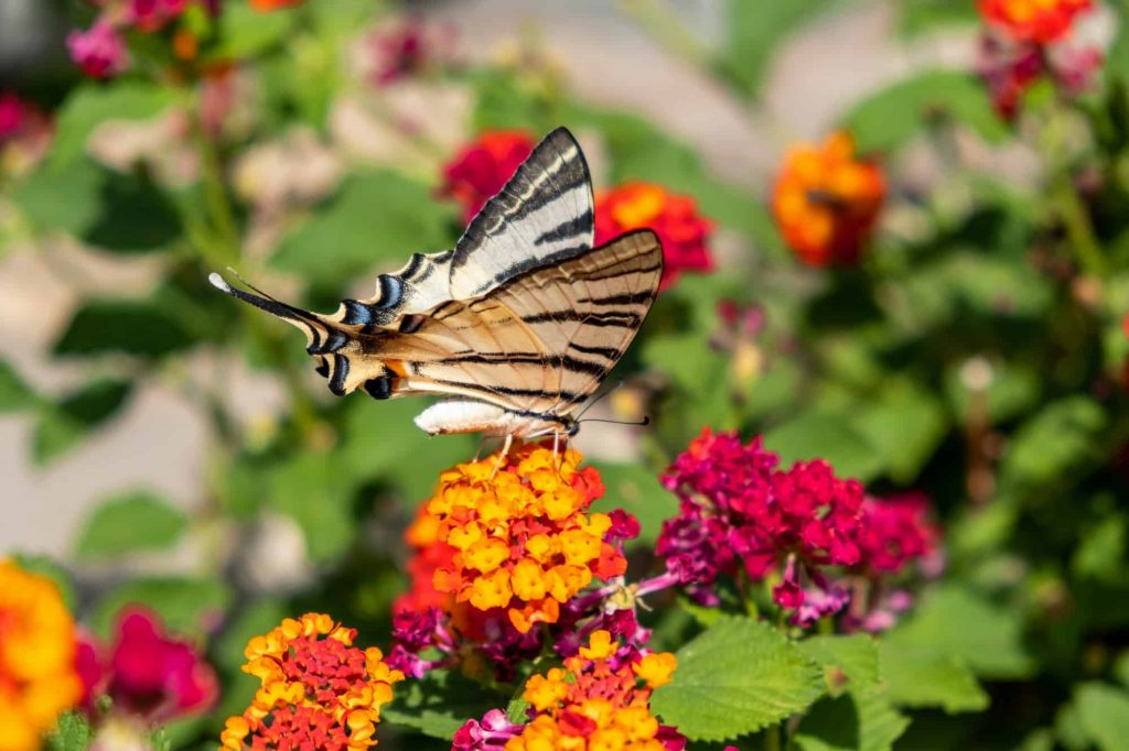 Butterfly on lantana red yellow color flowers.