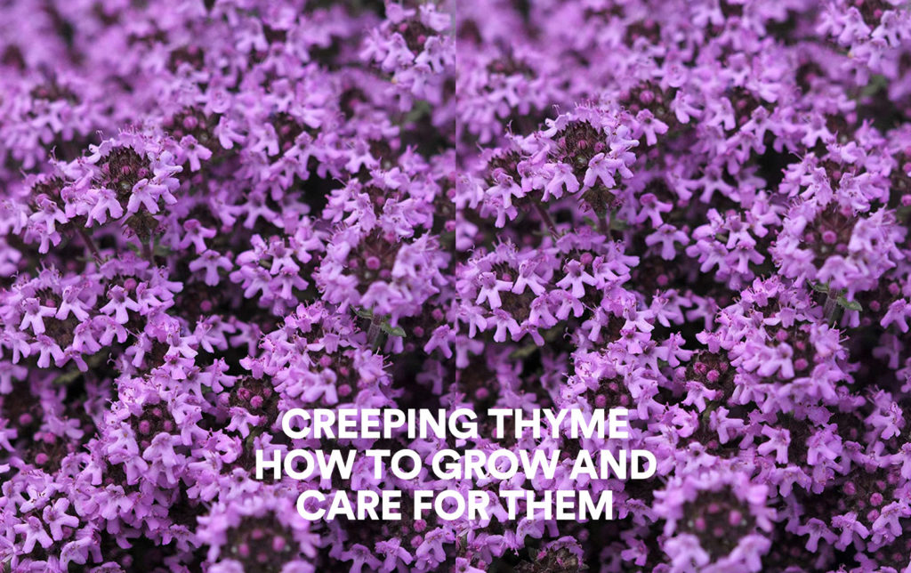 Creeping Thyme: How to Grow And Care For Them