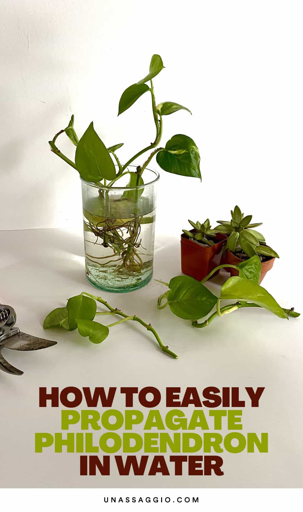 Steps to Propagate The Philodendron In Water