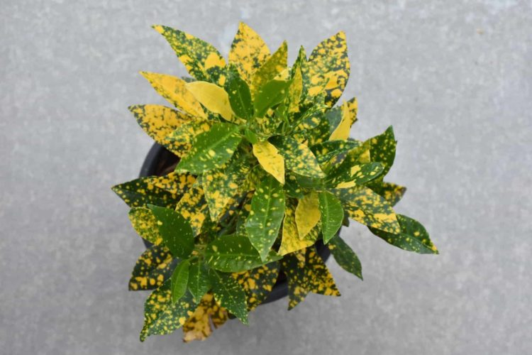 Gold dust croton plant growing in a pot.
