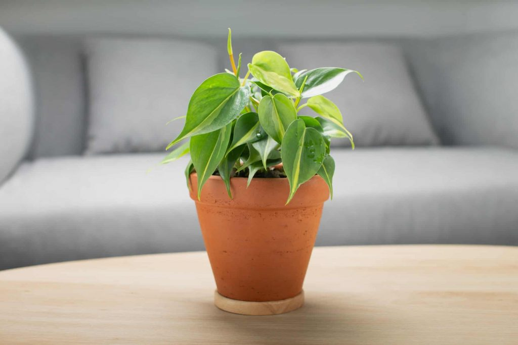 Philodendron plant Care Guide