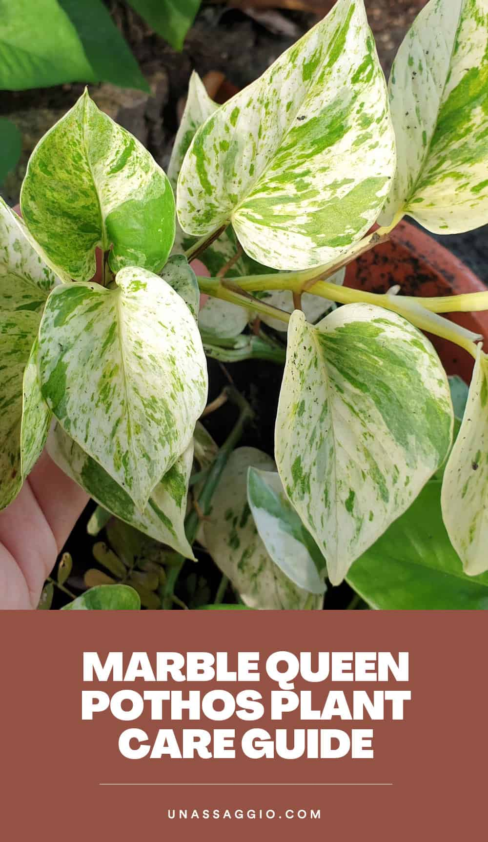 Marble Queen Pothos Plant Care Guide