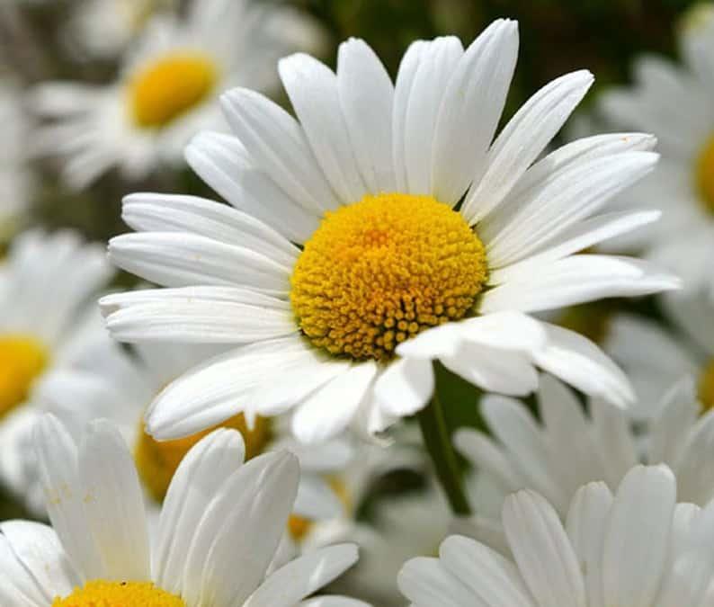 Shasta Daisy Flower Seeds