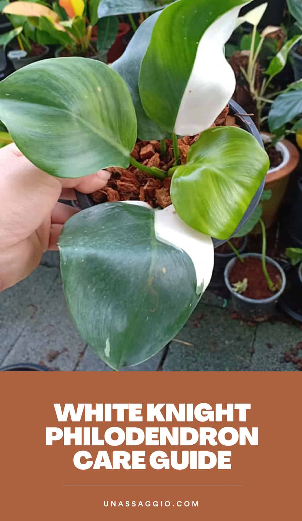White knight Philodendron Plant Care