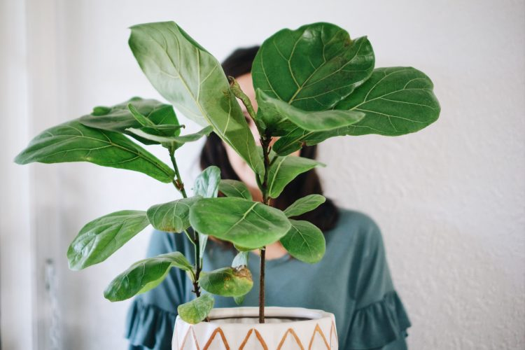 What Causes Of Brown Spots On Fiddle-leaf Fig Plants