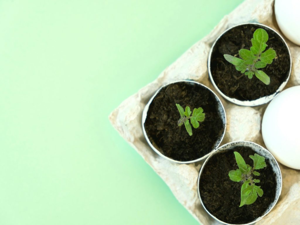 How To Use Eggshells For Tomato Plants