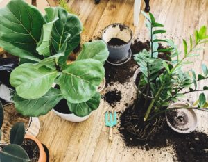 Fiddle Leaf Fig Propagation And Care Guide