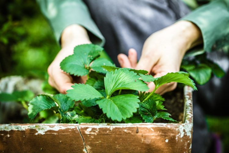 Are Eggshells Good For Strawberry Plants?